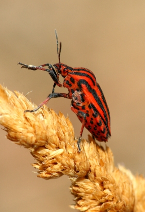 Graphosoma lineatum.